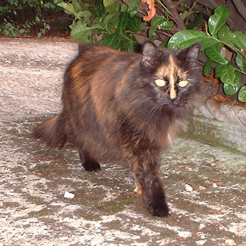 Fluffy Brown Cat