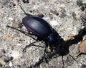 Some sort of beetle