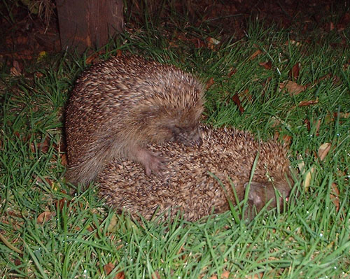 Hedgehogs mating