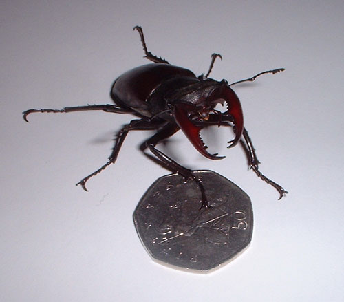 Stag beetle with 50p